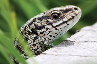 Image of a common lizard