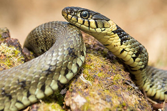 Grass snake on bark