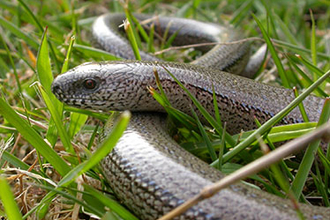 Slow Worm in grass
