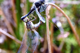 Black-Darter-credit-Mal-Wilkinson