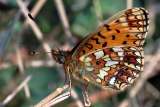 Small Pearl Bordered Fritillary Butterfly Pete Swan