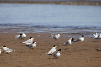 Little terns on the beach