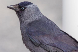 Jackdaw in profile at close up by Bengt Nyman