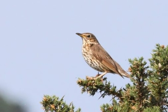 Juvenile Song Thrush on tree branch