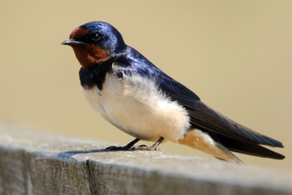 a swallow resting on bench in the sunlight