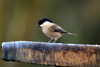 Willow Tit on branch