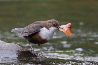 Dipper at Low Barns