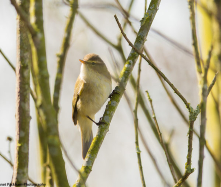 A chiff chaff resting on a branch