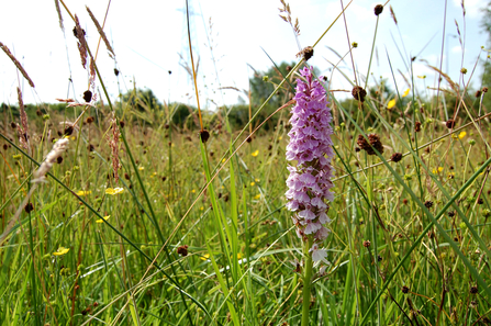 Chopwell Meadow common spotted orchid (c) Dan Madden