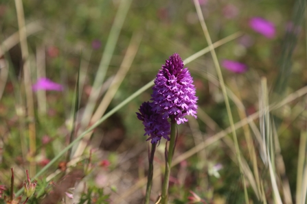 Pyramidal Orchid (c) Mandy Bell