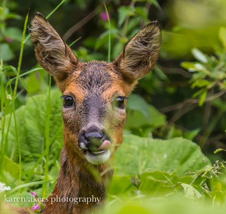 Roe Deer looking at camera