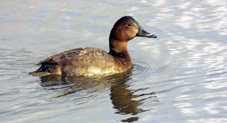 Female pochard