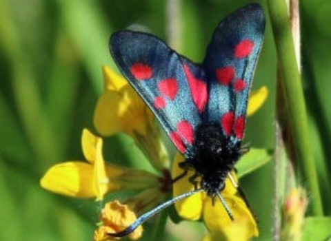 Five spot burnet moth on flower