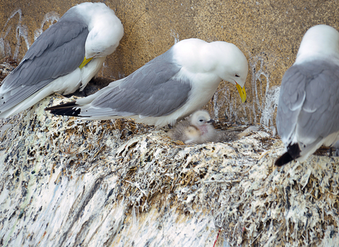 Kittiwakes pictures on camera at the Baltic