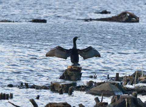 Cormorant stretching wings