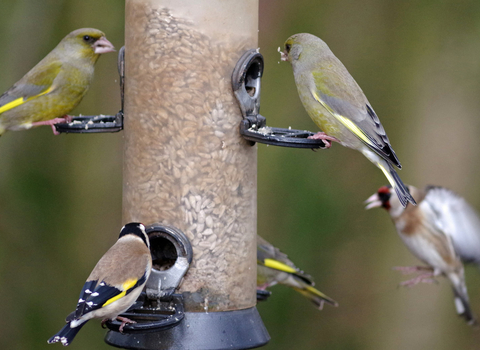 Birds feeding from a garden feeder