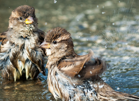 house sparrows in water